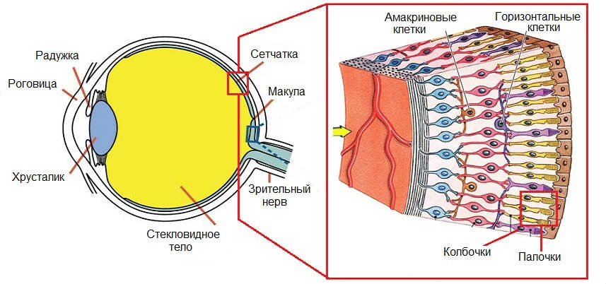 Глазная сетчатка и возраст thumbnail